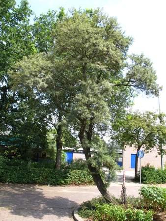 picture  Wilgbladige_duindoorn |Hippophae_salicifolia
