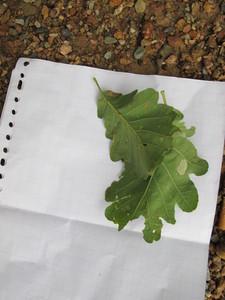 picture  Wintereik |Quercus_petraea