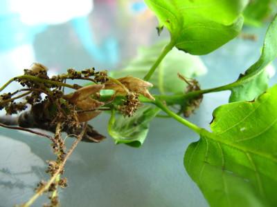 Herken De Boomsoort Nl Wintereik Latin Quercus Petraea Uk