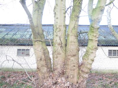 picture  Witte_esdoorn |Acer_sacharinum