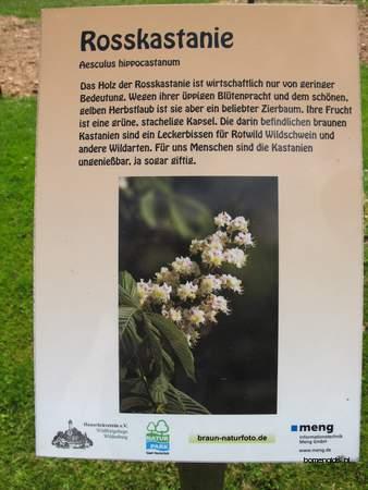 picture  Witte_paardenkastanje |Aesculus_hippocastanum