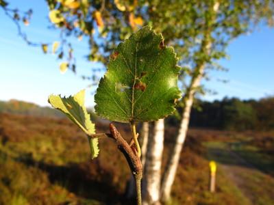 picture  Zachte_berk |Betula_pubescens