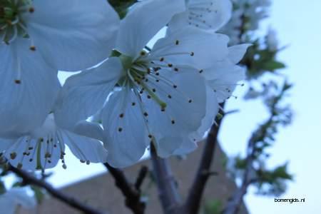 picture  Zoete_kers |Prunus_avium