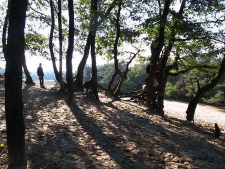 picture  Zomereik  Quercus_robur