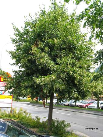 picture  Zomerlinde |Tilia_platyphyllos