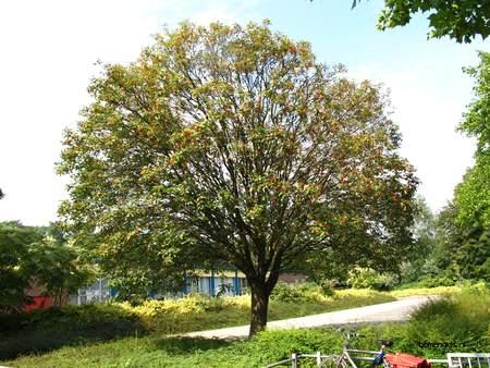 picture  Zweedse_meelbes |Sorbus_intermedia