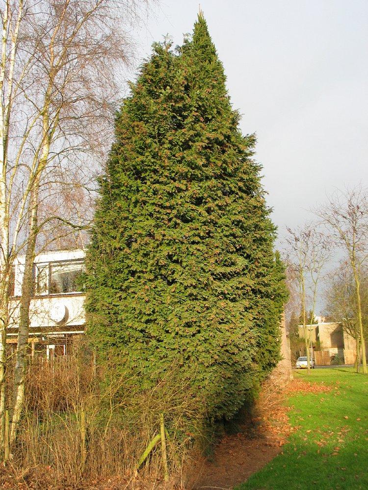 Ball Cypress Tree