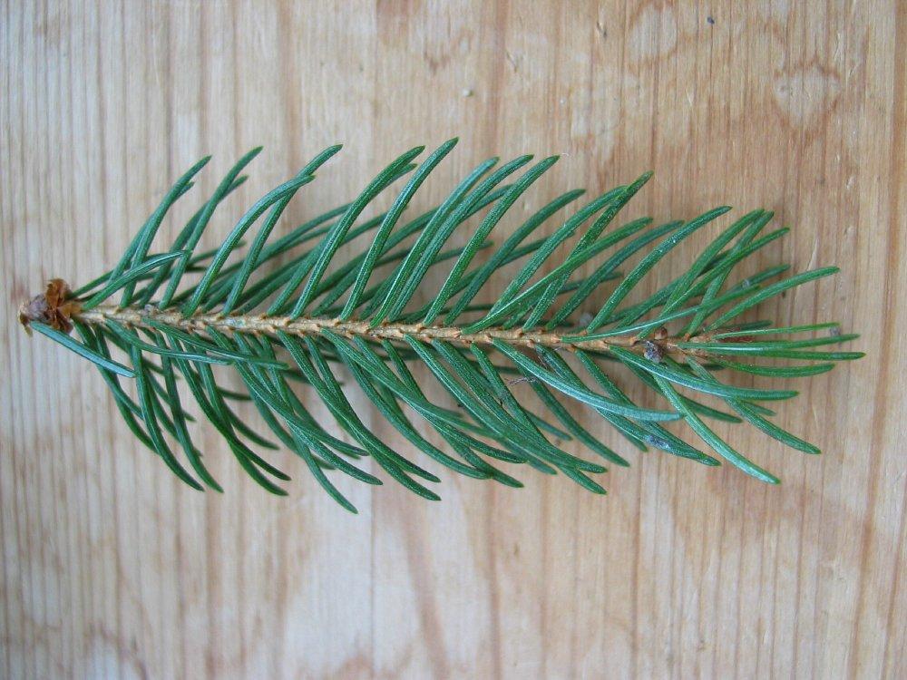 Summer photograph fijnspar picea abies norway spruceimg 1827 jpg
