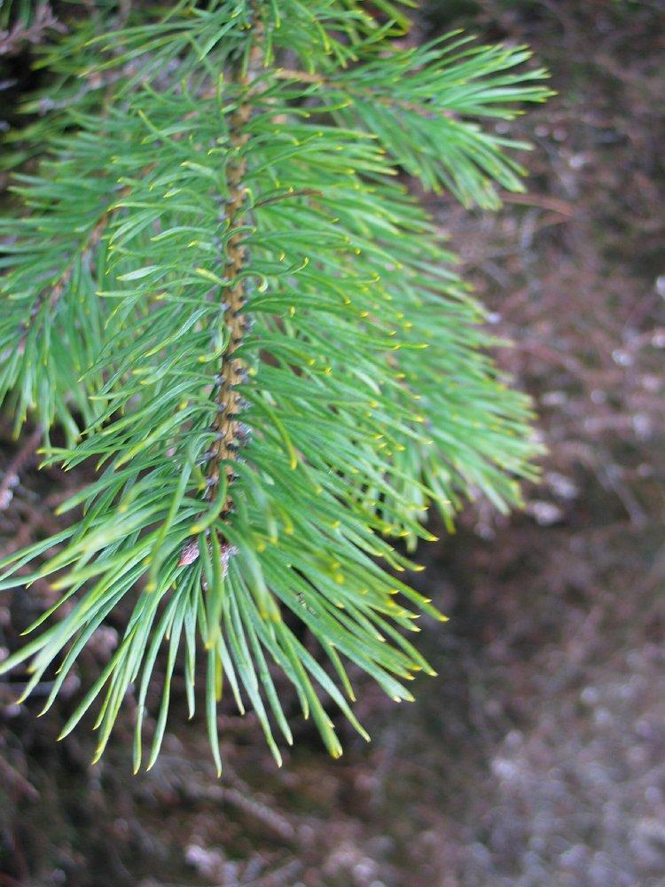 Pinus Sylvestris skovfyr hollandsk Treeguide Hos Wwwbomengidsnl, europæisk Træer-8687