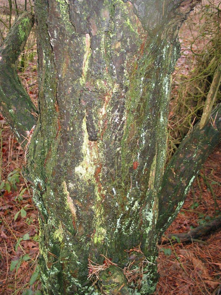 Pinus Sylvestris skovfyr hollandsk Treeguide Hos Wwwbomengidsnl, europæisk Træer-1858