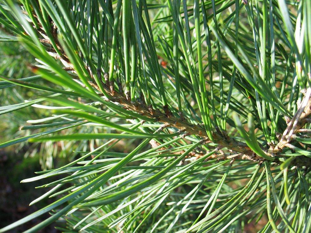 Pinus Sylvestris skovfyr hollandsk Treeguide Hos Wwwbomengidsnl, europæisk Træer-8351