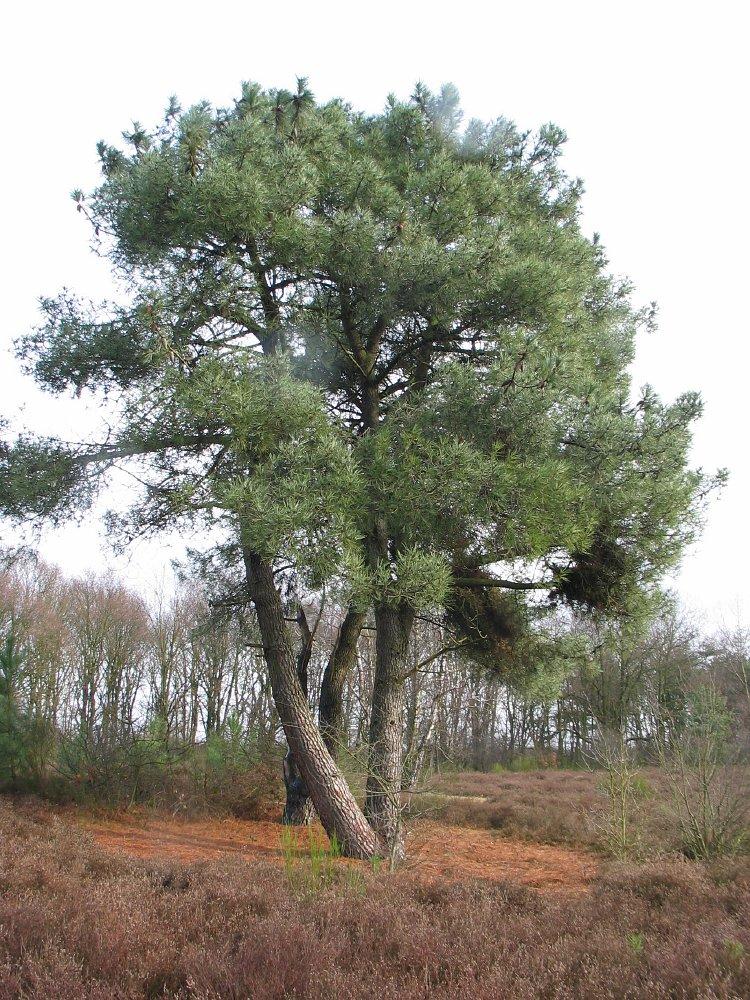 Pines Dutch Treeguide At Www Bomengids Nl European Trees