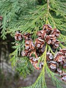 summer photograph Californische_cypres__Chamaecyparis_lawsoniana__Port-Orford_cedarimg_4084.jpg