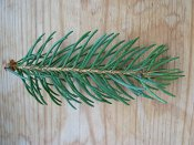 summer photograph Fijnspar__Picea_abies__Norway_spruceimg_1827.jpg