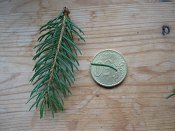 summer photograph Fijnspar__Picea_abies__Norway_spruceimg_1828.jpg