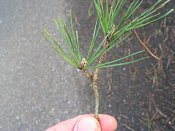 summer photograph Grove_den__Pinus_sylvestris__Scots_pineimg_1656.jpg