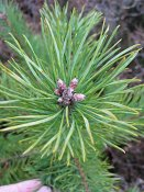 summer photograph Grove_den__Pinus_sylvestris__Scots_pineimg_2983knop.jpg