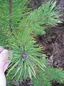 summer photograph Grove_den__Pinus_sylvestris__Scots_pineimg_2984.jpg
