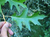 summer photograph Moeraseik__Quercus_palustris__Pin_oakimg_6928.jpg