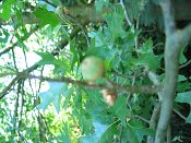 summer photograph Moeraseik__Quercus_palustris__Pin_oakimg_6930.jpg