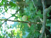summer photograph Moeraseik__Quercus_palustris__Pin_oakimg_6931vrucht.jpg