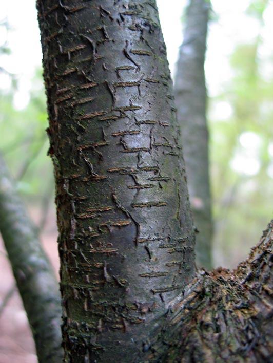 black cherry tree bark. of lack cherry here: