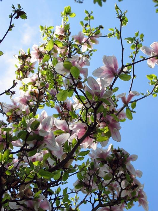 http://www.bomengids.nl/lente/pics/Magnolia__Magnolia__magnolia@img_2077bloem.jpg