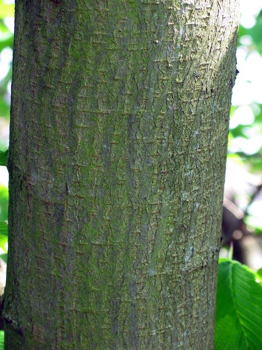 Fotos del bosque normando Ruwe_iep__Ulmus_glabra__Scots_elm@img_2211