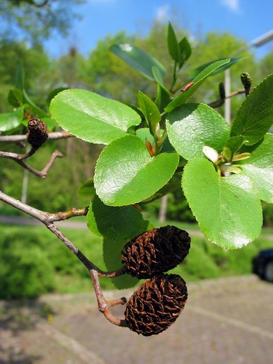 Alnus cordata italian alder dutch treeguide at bomengids spring photos if available stopboris Gallery