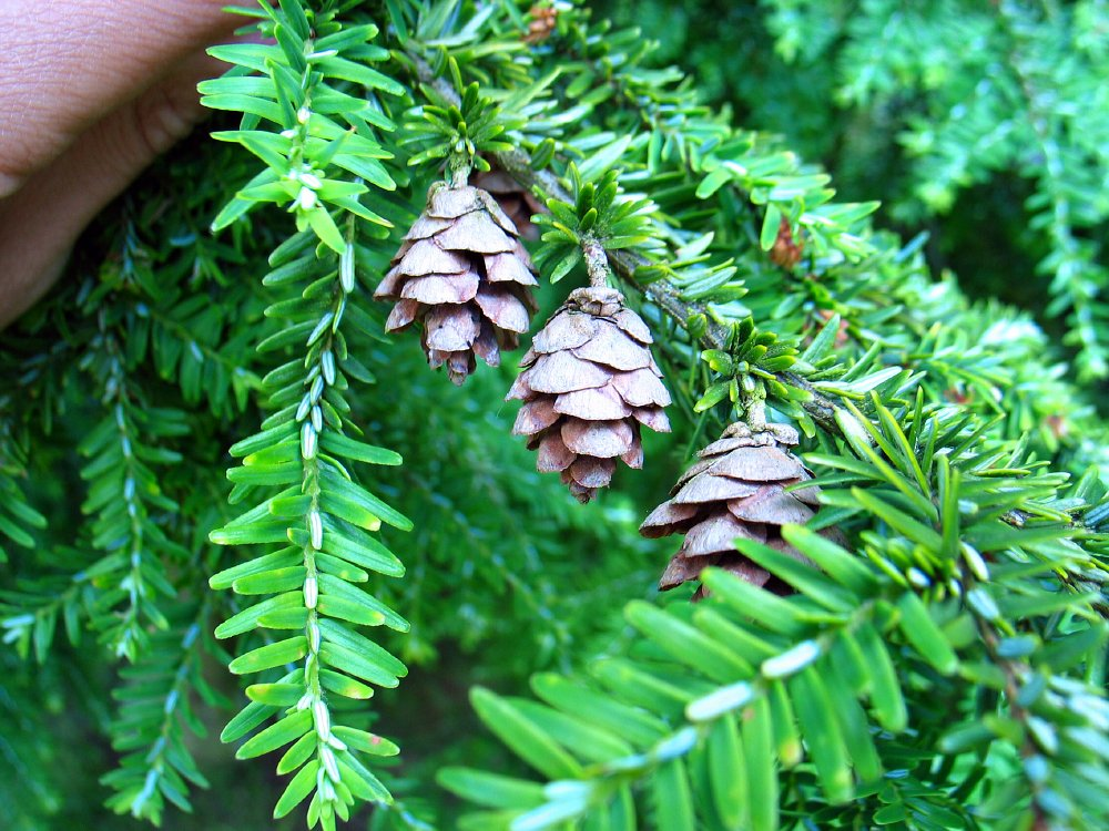 hispanic singles in hemlock Spiritual healing can be traced as far back as the bible and has always  non-hispanic whites:  native americans also used narcotic plants such as water hemlock.