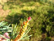 summer photograph Grove_den__Pinus_sylvestris__Scots_pineimg_6609.jpg
