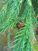 summer photograph Japanse_cypres__Cryptomeria_japonica__Japanese_cedarimg_5186vruchtfruit.jpg