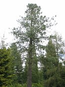 summer photograph Pinus_jeffreyi__Pinus_jeffreyi__Jeffrey_pineimg_5308.jpg