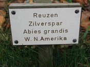 summer photograph Reuze_zilverspar__Abies_grandis__Grand_firimg_5415.jpg