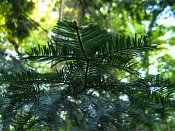 summer photograph Reuze_zilverspar__Abies_grandis__Grand_firimg_6702.jpg