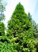 summer photograph Wierook_ceder__Calocedrus_decurrens__Incense_cederimg_8168.jpg