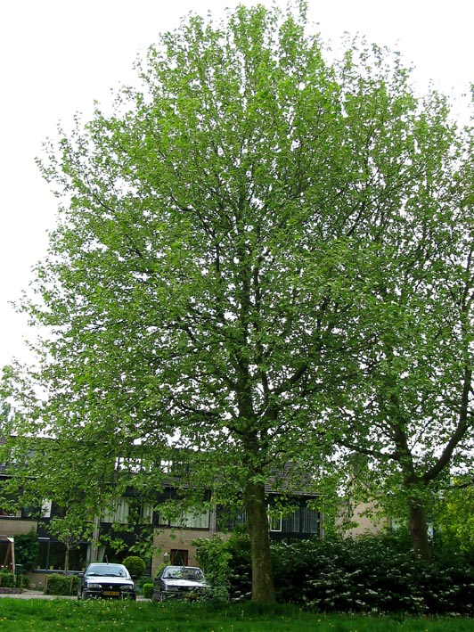 Plataan familie planetree platanus Bomen herkennen op deze ...