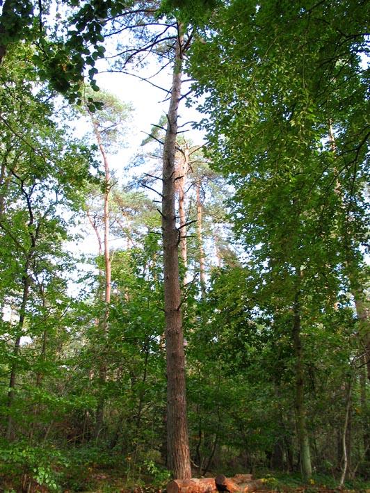 Pinus Sylvestris skovfyr hollandsk Treeguide Hos Wwwbomengidsnl, europæisk Træer-5431