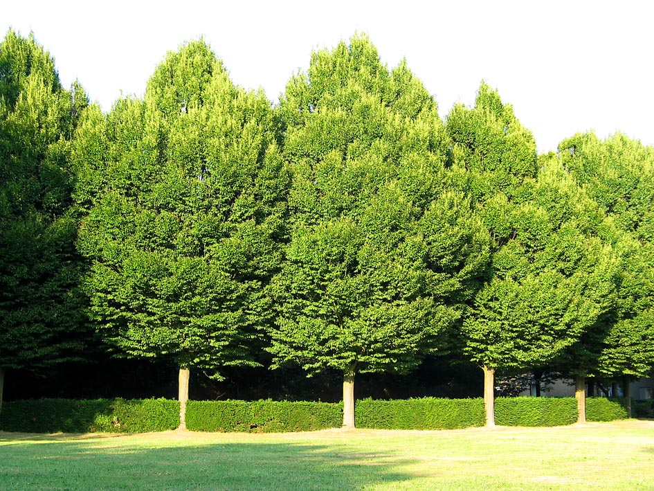 Carpinus betulus european hornbeam musclewood ironwood for Arboles de jardin de hoja perenne