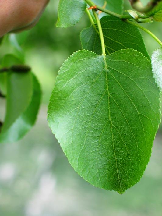 Alnus cordata italian alder dutch treeguide at bomengids just beautiful photographs stopboris Images