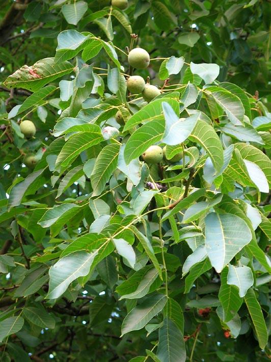 okkernoot walnoot juglans regia common walnut black walnut bomen herkennen op. Black Bedroom Furniture Sets. Home Design Ideas