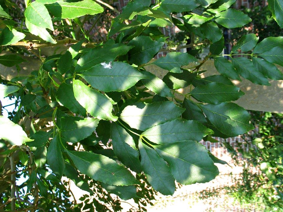 Es Ash fraxinus Bomen herkennen op deze bomen site ...  Dat