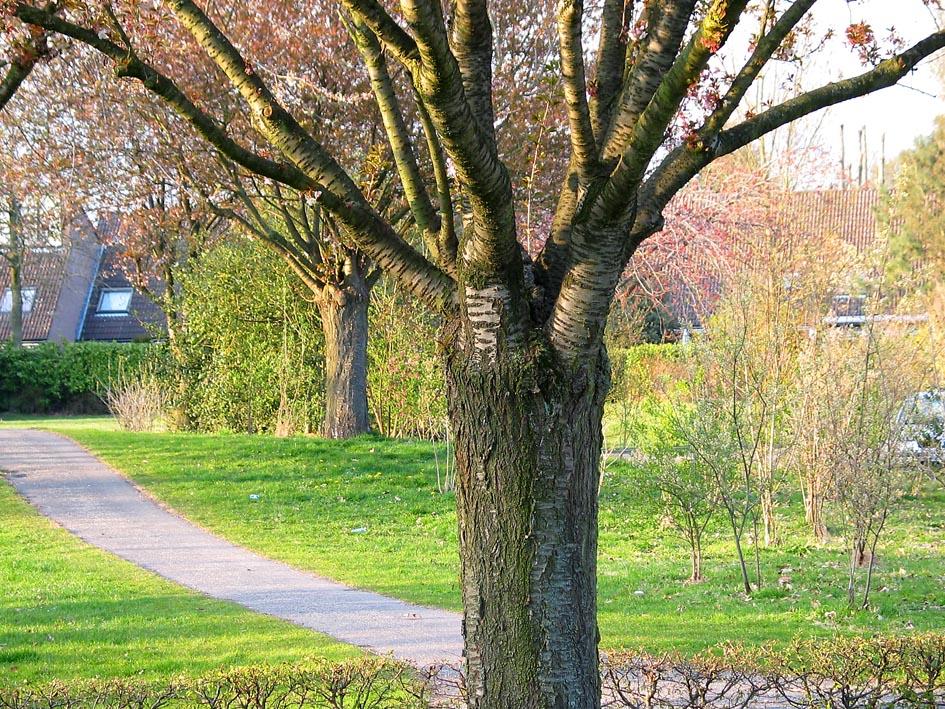 Kers Prunus Cherry Bomen Herkennen Op Deze Bomen Site