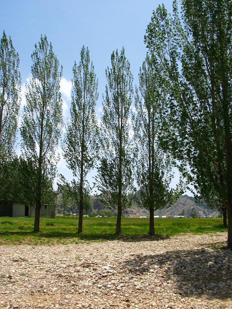 Amerikaanse Populier Populus Deltoides Eastern Cottonwood