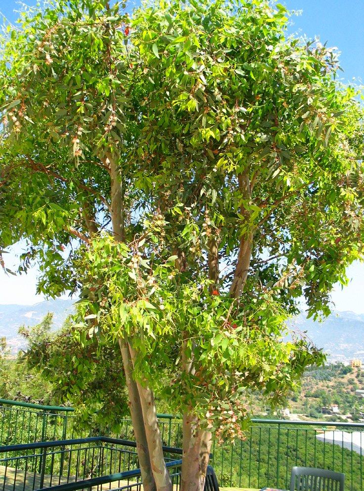 eucalyptus eucalyptus globulus blue gum tree dutch. Black Bedroom Furniture Sets. Home Design Ideas