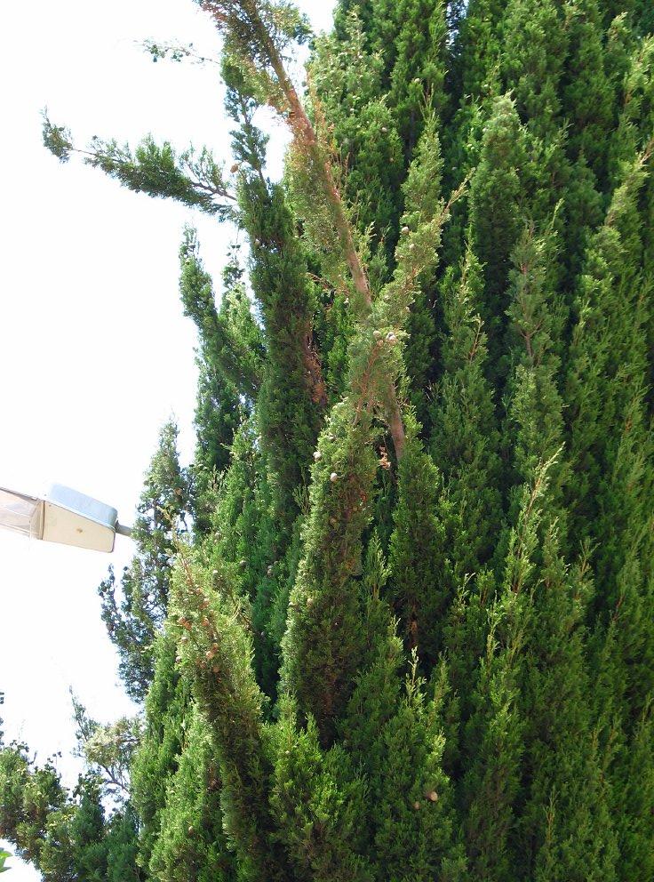 Italiaanse cypres Cupressus sempervirens Italian cypress ...