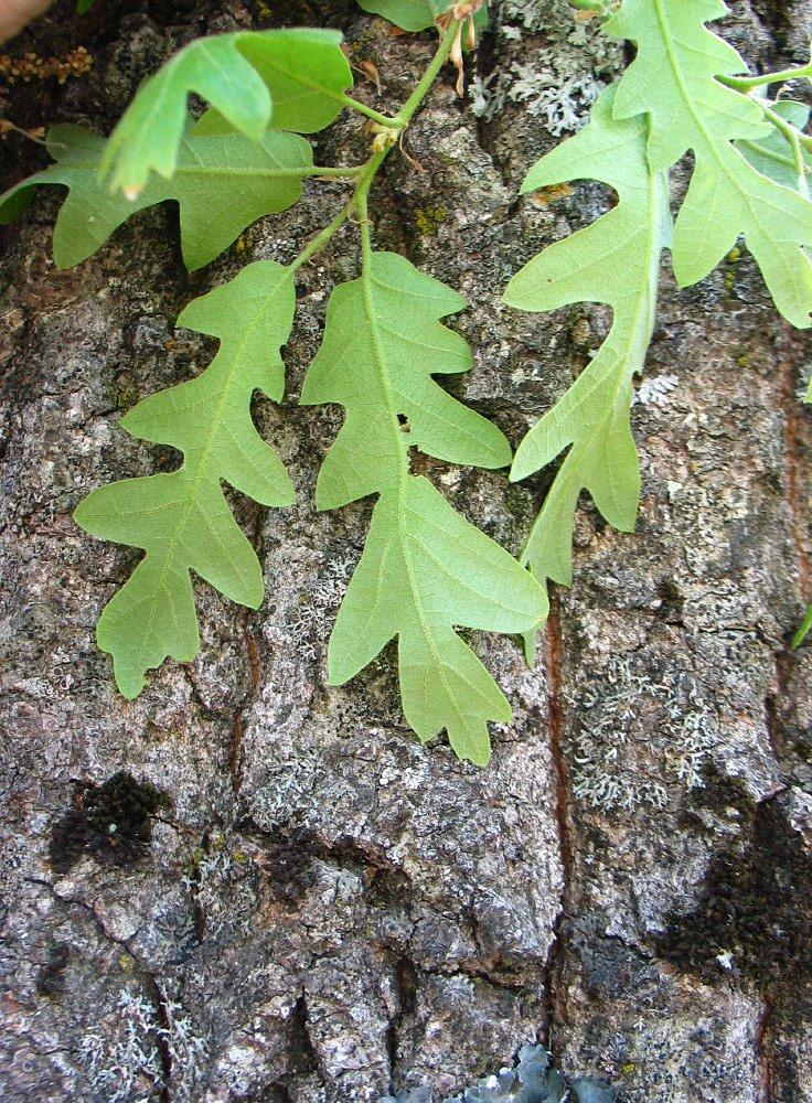 Moseik Turkse eik Quercus cerris Turkey oak Bomen ...