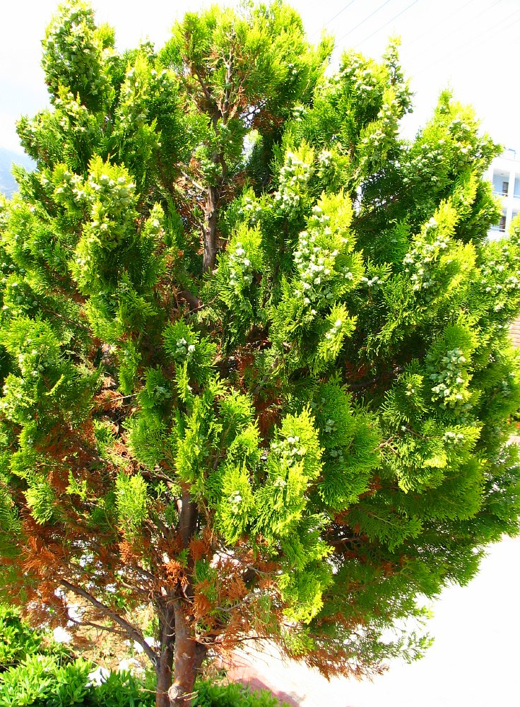 oosterse levensboom thuja orientalis oriental arborvitae