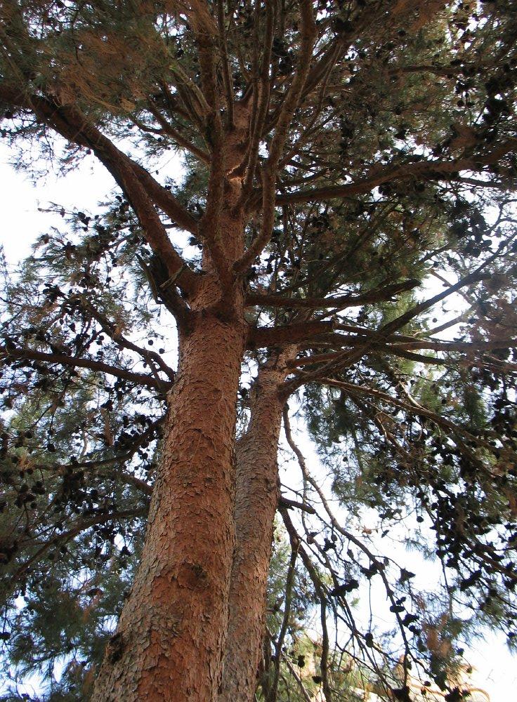 turkse den pinus brutia turkish pine dutch treeguide at