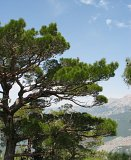 summer photograph Krimden__Pinus_nigra_caramanica__Turkish_black_pineimg_7394.jpg